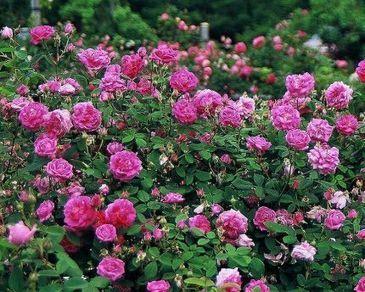 What Is An Old Garden Rose? - Fine Gardening   Annie Haven   Haven Brand   Scoop.it
