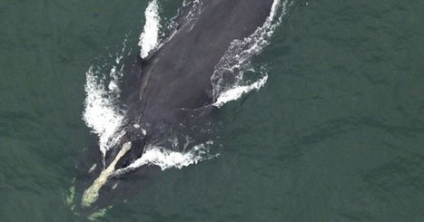 One Of The World's Rarest #Whales (500 left) Spotted Off South Carolina | Messenger for mother Earth | Scoop.it