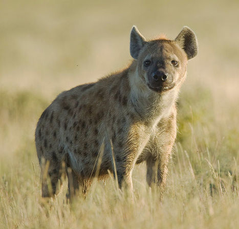 Symbiotic bacteria appear to mediate hyena social odors | Biotic interactions | Scoop.it