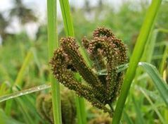 Millet revolution in India: Let's keep up the momentum! | Agricultural Biodiversity | Scoop.it