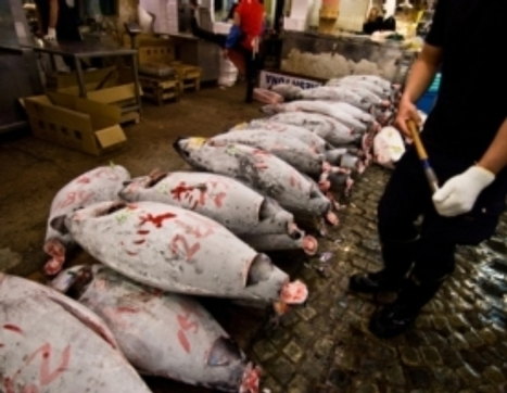 Suing over Sushi: Protection Sought for Pacific Bluefin Tuna – Scientific American Blog Network | GarryRogers Biosphere News | Scoop.it