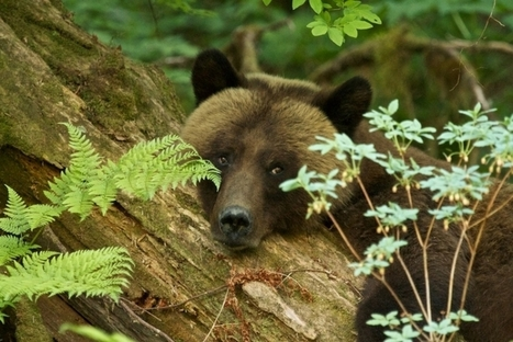 Grizzly watching, and a whole lot more, in the Great Bear Rainforest   Nature, climat, environement et santé   Scoop.it