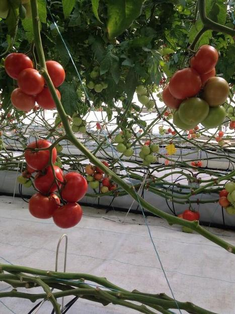 UA hydroponic greenhouse leading way to sustainable urban farming | KOLD (TV-Channel 13, Tucson) | CALS in the News | Scoop.it