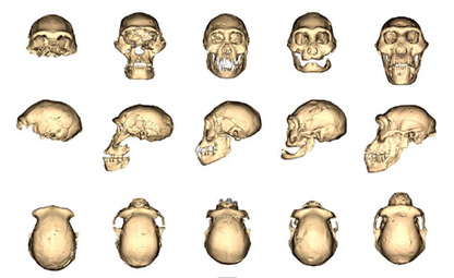 Ancient skull could change the story of human evolution - Natural History Museum | History | Scoop.it