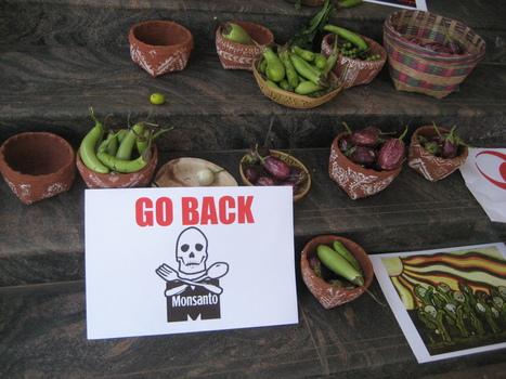 Les OGM au-dessus de la loi. Monsanto terroriste ! | OGM et environnement | Scoop.it