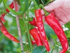 What to do in the garden this week: Cover late crops and harvest your last peppers  | Garden | Life & Style | Daily Express | garden | Scoop.it
