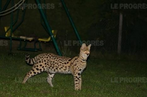 Un chat à 125 000 dollars fugue, mobilise les gendarmes… puis rentre chez lui   CaniCatNews-actualité   Scoop.it