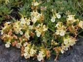 Snaga bilja - Trava iva (za koju narod veruje da od mrtva pravi živa) | ЛЕКОВИТО БИЉЕ | Scoop.it
