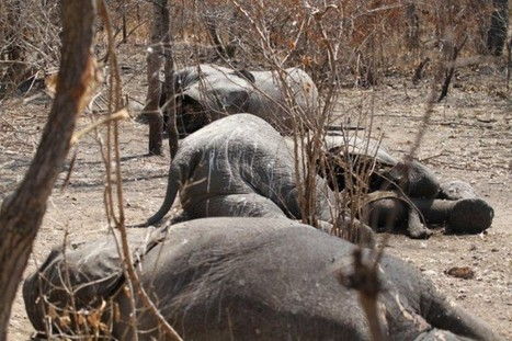 Tanzania ivory: Elephant facts versus official fictions - EIA International   Wildlife Trafficking: Who Does it? Allows it?   Scoop.it