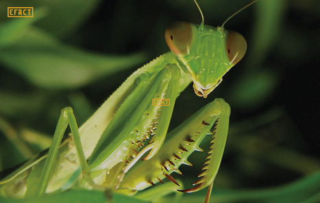 Facts about Praying Mantis - Fun Facts   Facts   Scoop.it