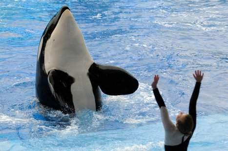 '#Blackfish' Prompts #SeaWorld Mass Exodus for Bands, #Boycott May Be Imminent | Rescue our Ocean's & it's species from Man's Pollution! | Scoop.it