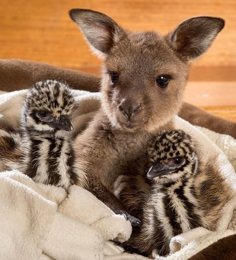 Baby Kangaroo Welcomes Rescued Emu Chicks with Adorable Snuggling   Le It e Amo ✪   Scoop.it