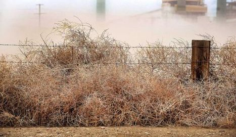 Colorado tumbleweeds overrun drought areas | Sustain Our Earth | Scoop.it