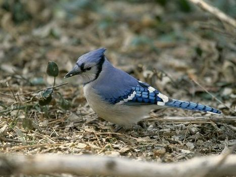 Blue Jays, Blue Jay Pictures, Blue Jay Facts - National Geographic | Blue Jays | Scoop.it