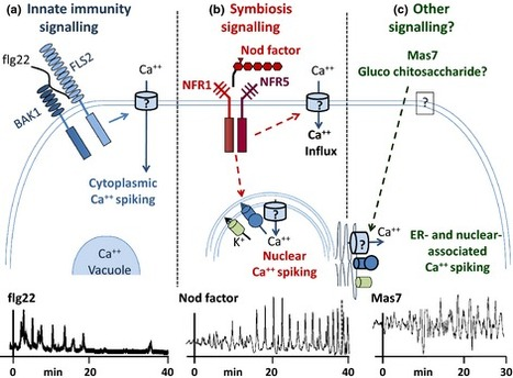 Calcium signals in plant immunity: a spiky issue | Plant-Microbe | Scoop.it