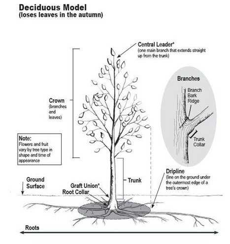 A Quick Lesson on How  a Tree Grows | forestry | Scoop.it