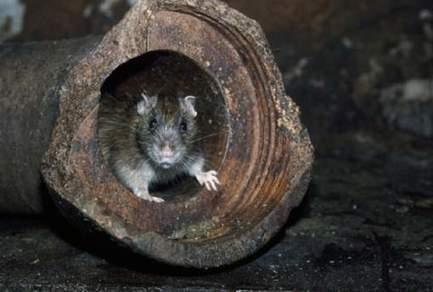Assis sur ses toilettes, il se fait mordre les fesses par un rat - NadegeMambe :: Actualité Insolite du Web | Trollface , meme et humour 2.0 | Scoop.it