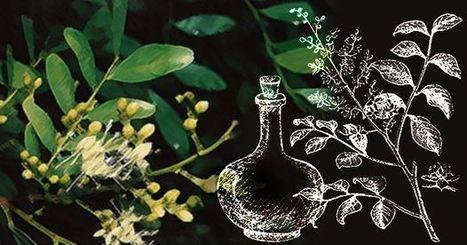 RiseEarth : The Best Anti-Cancer Essential Oil You've Never Heard Of? | URBAN FARMING | Scoop.it