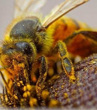 Si l'abeille disparaissait de la planète ... - [CDURABLE.info l'essentiel du développement durable] | CDURABLE.info | Scoop.it