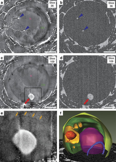 A vacuole-like compartment concentrates a disordered calcium phase in a key coccolithophorid alga | Mineralogy, Geochemistry, Mineral Surfaces & Nanogeoscience | Scoop.it