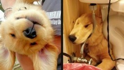 16 Golden Retriever Puppies Who Were Big Dorks   How can I do....?   Scoop.it