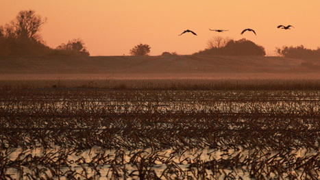 During Drought, Pop-Up Wetlands Give Birds a Break | Sustain Our Earth | Scoop.it