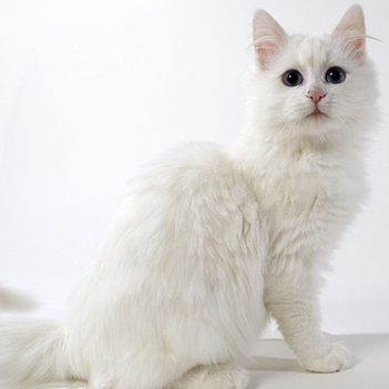 Turkish Angora Cat | Cat Breeds Information | Scoop.it