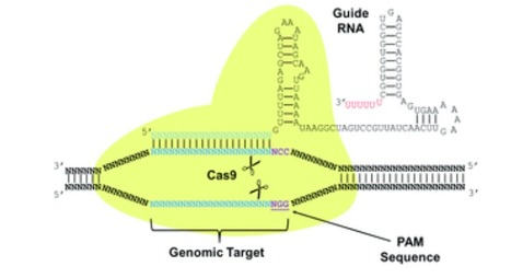 Genome engineering in Saccharomyces cerevisiae using CRISPR-Cas systems | Multi- gene | Scoop.it