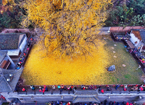 #Ancient #Chinese #Ginkgo Tree Drops Leaves That Drown #Buddhist #Temple In #Yellow Ocean #art #nature | Luby Art | Scoop.it