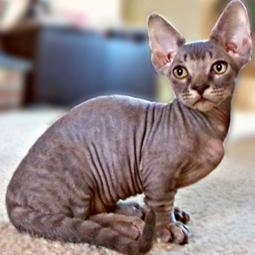 Minskin Cat | Cat Breeds Information | Scoop.it