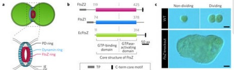 Chloroplast FtsZ assembles into a contractible ring via tubulin-like heteropolymerization | Emerging Research in Plant Cell Biology | Scoop.it