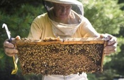 USDA, EPA butt heads on honey bee and petsicide initiative, highlighting lobbying conflicts | Genetic Literacy Project | Farming, Forests, Water, Fishing and Environment | Scoop.it