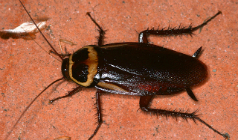 Cockroach: The Most Common Pest in Australia | R.I.P. Pest Management | Pest Exterminator Northern Beaches | Scoop.it
