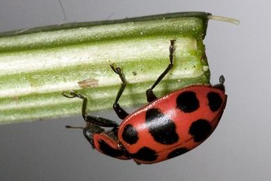 Predators delay pest resistance to Bt crops - Cornell Chronicle | plant cell genetics | Scoop.it