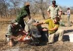 Rhino Horn: Cut and conserve | What's Happening to Africa's Rhino? | Scoop.it