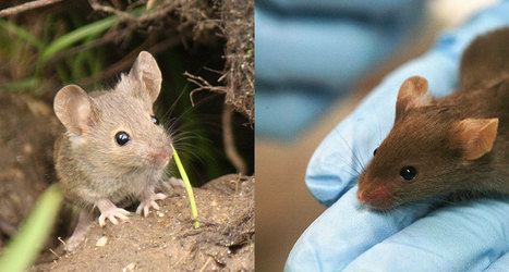 'Dirty' mice better than lab-raised mice for studying human disease | Virology and Bioinformatics from Virology.ca | Scoop.it