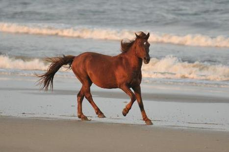 Corolla Wild Horses viewing expedition Currituck NC   Outer Banks Neighborhoods   Everything OBX   Scoop.it