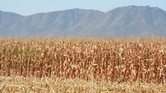 Monsanto to build conventional, GMO corn germplasm greenhouse in Arizona | CALS in the News | Scoop.it