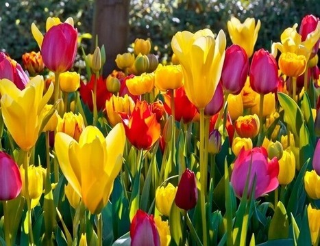 Tulip: The National Flower of Afghanistan   ProBloggerTricks   Scoop.it