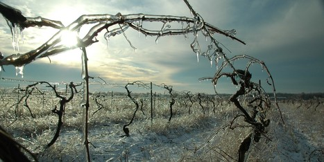 Polar Vortex Could Spell Disaster For Ontario's Wineries | In The Vineyard | Scoop.it