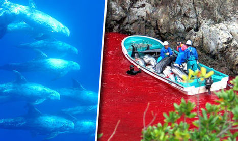 Animal welfare campaigners to stage mass protest over 'sick' Taiji dolphin drives | Nature Animals humankind | Scoop.it