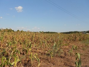 Why King Corn Wasn't Ready for the Drought   Wired Science   Wired.com   Vertical Farm - Food Factory   Scoop.it