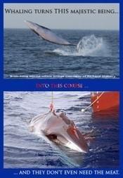 Cetaceans | Dolphins | Scoop.it