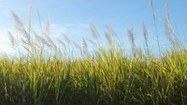 Barley leaf rust gene discovered - ABC Rural (Australian Broadcasting Corporation)   News articles for Harvest on Radio Adelaide   Scoop.it