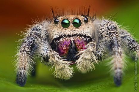 Female Jumping Spider - Phidippus regius - Florida   For the love of Photography   Scoop.it