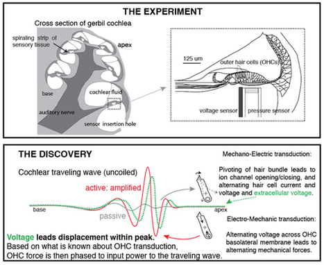 New findings on how the ear hears could lead to better hearing aids   Sound Engineering- Aspects 2&3   Scoop.it