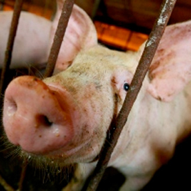Pig Flu Virus Strain Shown to Have Pandemic Potential | Aquatic Viruses | Scoop.it