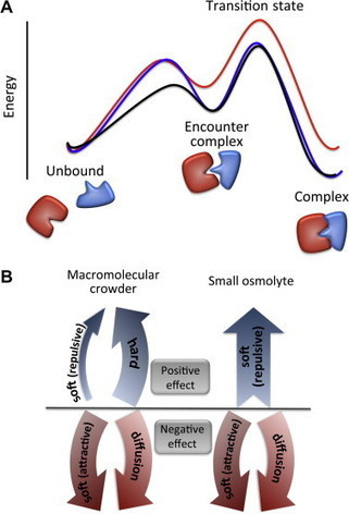 ScienceDirect.com - FEBS Letters - Formation of protein complexes in crowded environments – From in vitro to in vivo | Systems biology and bioinformatics | Scoop.it