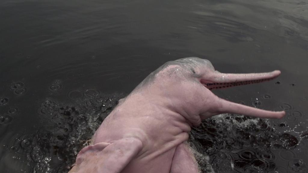 Le mystère du dauphin rose : enquête sur un animal étonnant