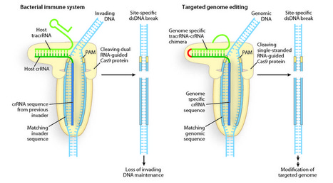 Programmable DNA scissors for genome editing | KurzweilAI | Plant Genomics | Scoop.it